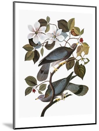 Audubon: Pigeon-John James Audubon-Mounted Premium Giclee Print