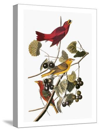 Audubon: Tanager-John James Audubon-Stretched Canvas Print