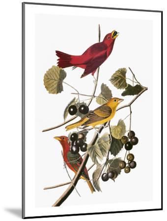 Audubon: Tanager-John James Audubon-Mounted Giclee Print