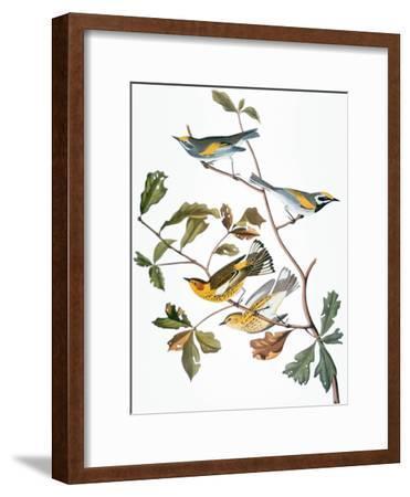 Audubon: Warbler-John James Audubon-Framed Giclee Print