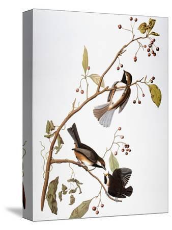 Audubon: Chickadee-John James Audubon-Stretched Canvas Print