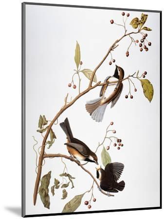 Audubon: Chickadee-John James Audubon-Mounted Premium Giclee Print