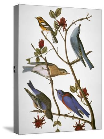 Audubon: Bluebirds-John James Audubon-Stretched Canvas Print