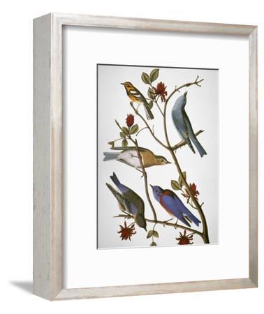 Audubon: Bluebirds-John James Audubon-Framed Premium Giclee Print