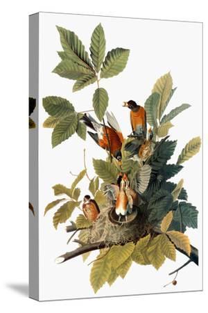 Audubon: Robin-John James Audubon-Stretched Canvas Print