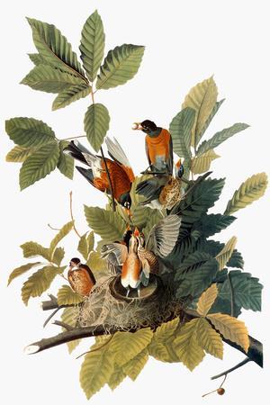 Audubon: Robin-John James Audubon-Premium Giclee Print