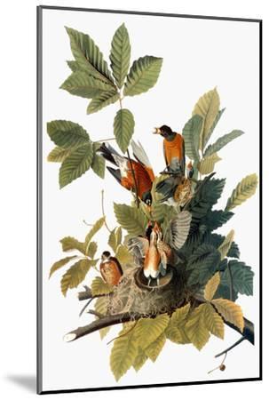 Audubon: Robin-John James Audubon-Mounted Premium Giclee Print