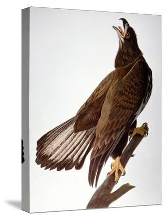 Audubon: Bald Eagle-John James Audubon-Stretched Canvas Print