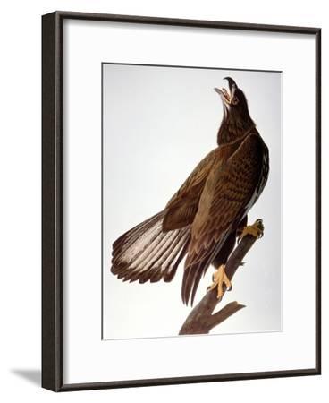 Audubon: Bald Eagle-John James Audubon-Framed Giclee Print