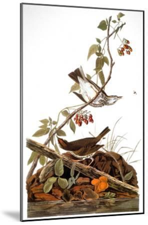 Audubon: Ovenbird-John James Audubon-Mounted Giclee Print