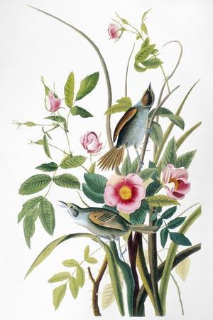 Seaside Sparrow, 1858-John James Audubon-Stretched Canvas Print