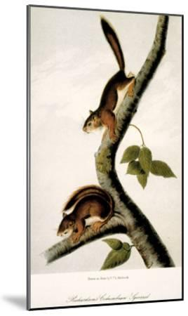 Squirrel--Mounted Giclee Print