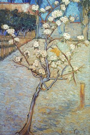 Van Gogh: Peartree, 1888-Vincent van Gogh-Stretched Canvas Print