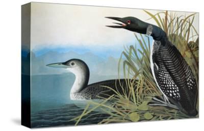 Audubon: Common Loon-John James Audubon-Stretched Canvas Print