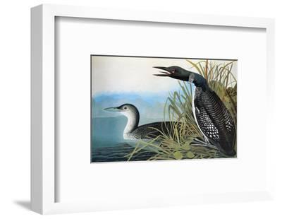 Audubon: Common Loon-John James Audubon-Framed Premium Giclee Print
