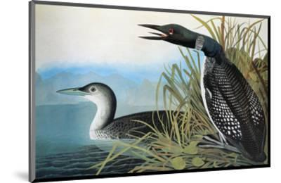 Audubon: Common Loon-John James Audubon-Mounted Premium Giclee Print
