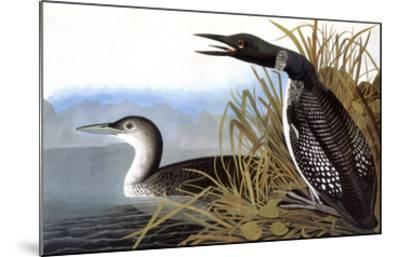 Audubon: Loon, 1827-John James Audubon-Mounted Giclee Print