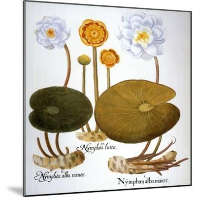Water Lily, 1613-Besler Basilius-Mounted Giclee Print