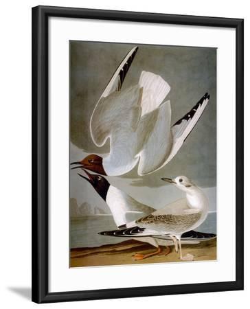 Audubon: Gull-John James Audubon-Framed Premium Giclee Print