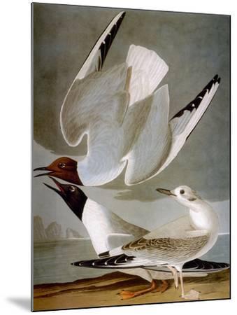 Audubon: Gull-John James Audubon-Mounted Premium Giclee Print
