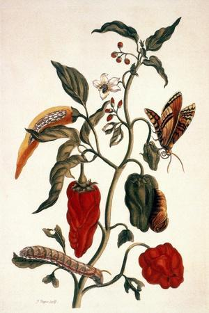 Pepper Plant-Maria Sibylla Merian-Stretched Canvas Print