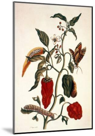 Pepper Plant-Maria Sibylla Merian-Mounted Giclee Print
