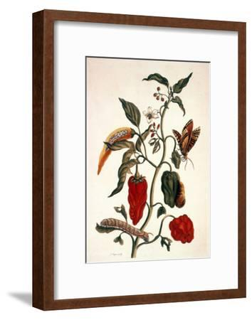 Pepper Plant-Maria Sibylla Merian-Framed Giclee Print