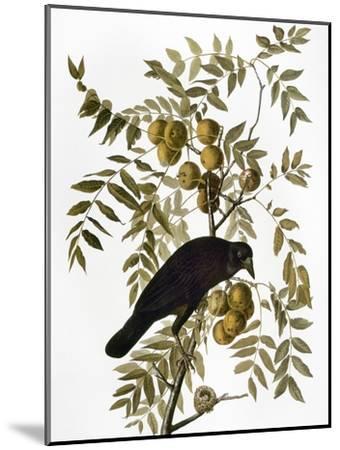 Audubon: Crow-John James Audubon-Mounted Giclee Print