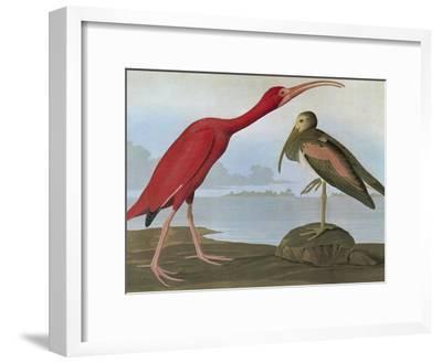 Audubon: Scarlet Ibis-John James Audubon-Framed Giclee Print