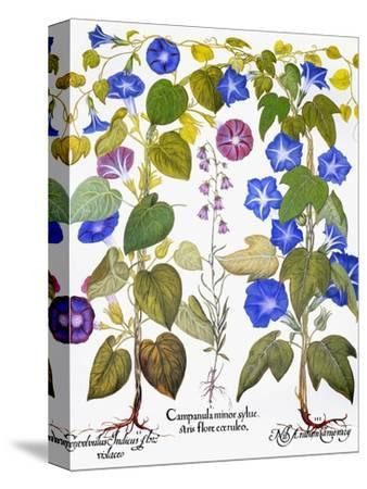 Bluebell And Morning Glory-Besler Basilius-Stretched Canvas Print