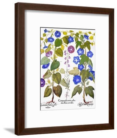 Bluebell And Morning Glory-Besler Basilius-Framed Premium Giclee Print