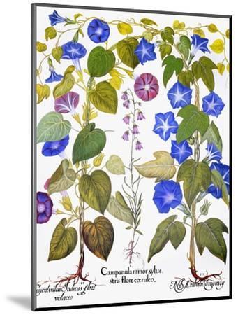 Bluebell And Morning Glory-Besler Basilius-Mounted Premium Giclee Print