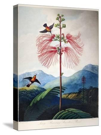Thornton: Sensitive Plant-Joseph Constantine Stadler-Stretched Canvas Print