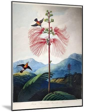 Thornton: Sensitive Plant-Joseph Constantine Stadler-Mounted Giclee Print
