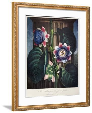 Thornton: Passion-Flower-James, The Elder Hopwood-Framed Giclee Print