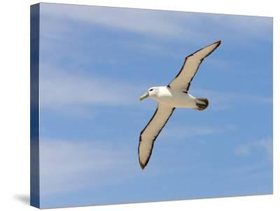Shy Albatross in Flight, Bass Strait, Tasmania, Australia-Rebecca Jackrel-Stretched Canvas Print