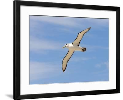 Shy Albatross in Flight, Bass Strait, Tasmania, Australia-Rebecca Jackrel-Framed Photographic Print