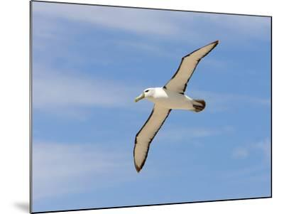 Shy Albatross in Flight, Bass Strait, Tasmania, Australia-Rebecca Jackrel-Mounted Photographic Print