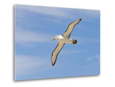 Shy Albatross in Flight, Bass Strait, Tasmania, Australia-Rebecca Jackrel-Metal Print