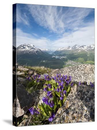 Alpine Flowers and Views of Celerina and St. Moritz from Atop Muottas Muragl, Switzerland-Michael DeFreitas-Stretched Canvas Print