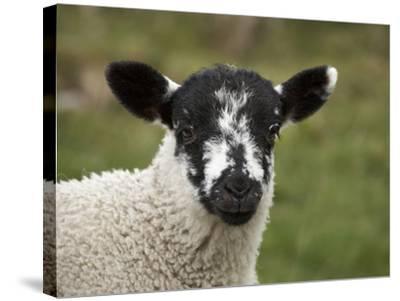 Lamb Near Malham, Yorkshire Dales, North Yorkshire, England-David Wall-Stretched Canvas Print