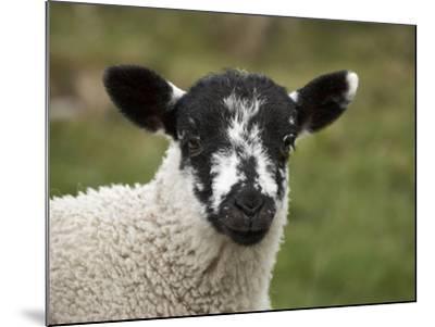 Lamb Near Malham, Yorkshire Dales, North Yorkshire, England-David Wall-Mounted Photographic Print