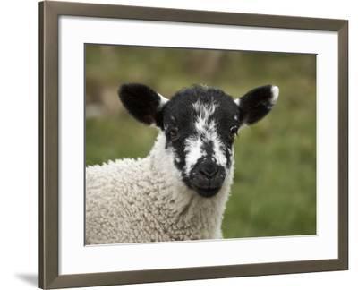 Lamb Near Malham, Yorkshire Dales, North Yorkshire, England-David Wall-Framed Photographic Print