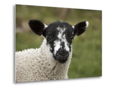 Lamb Near Malham, Yorkshire Dales, North Yorkshire, England-David Wall-Metal Print