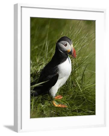 Puffin, Staffa, Off Isle of Mull, Scotland-David Wall-Framed Photographic Print
