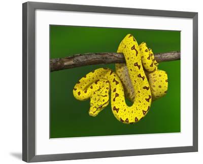 Immature Green Tree Python-Adam Jones-Framed Photographic Print
