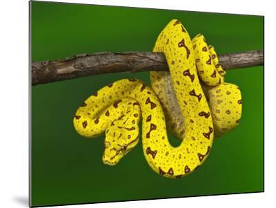 Immature Green Tree Python-Adam Jones-Mounted Photographic Print
