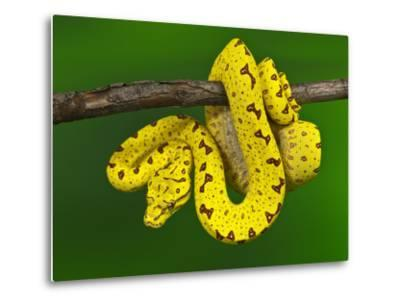 Immature Green Tree Python-Adam Jones-Metal Print
