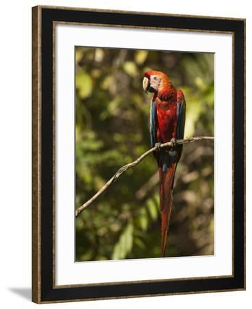 Scarlet Macaw, Cocaya River, Eastern Amazon Rain Forest, Peru-Pete Oxford-Framed Photographic Print