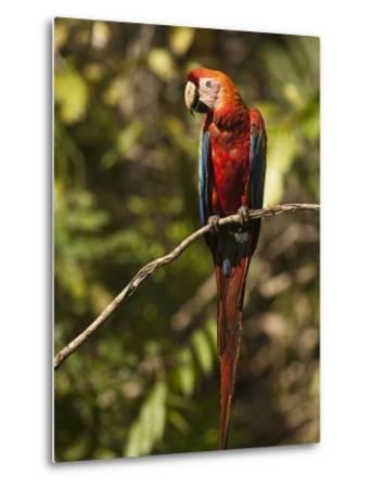 Scarlet Macaw, Cocaya River, Eastern Amazon Rain Forest, Peru-Pete Oxford-Metal Print